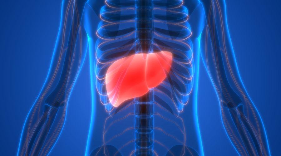 Human Body Organs Anatomy (Liver). 3D